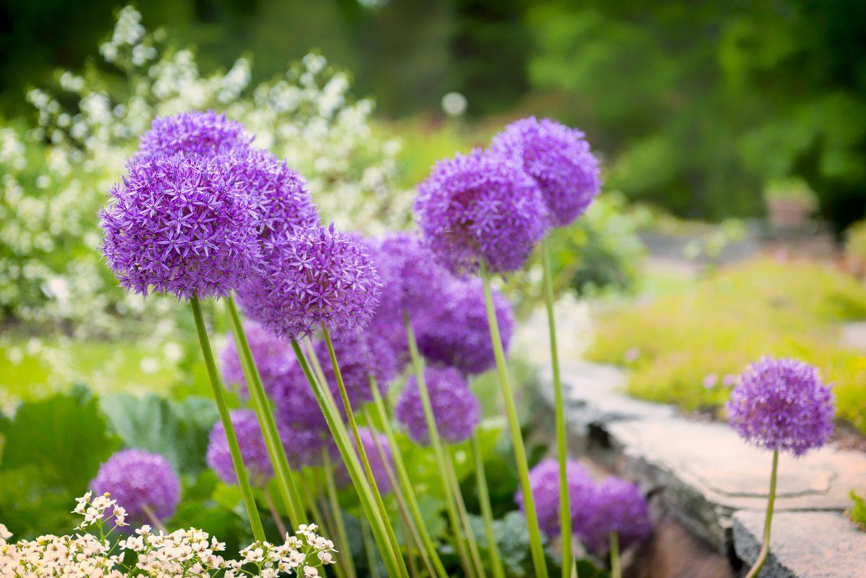 Allium bitkisinin uzak tuttuğu böcek türleri.