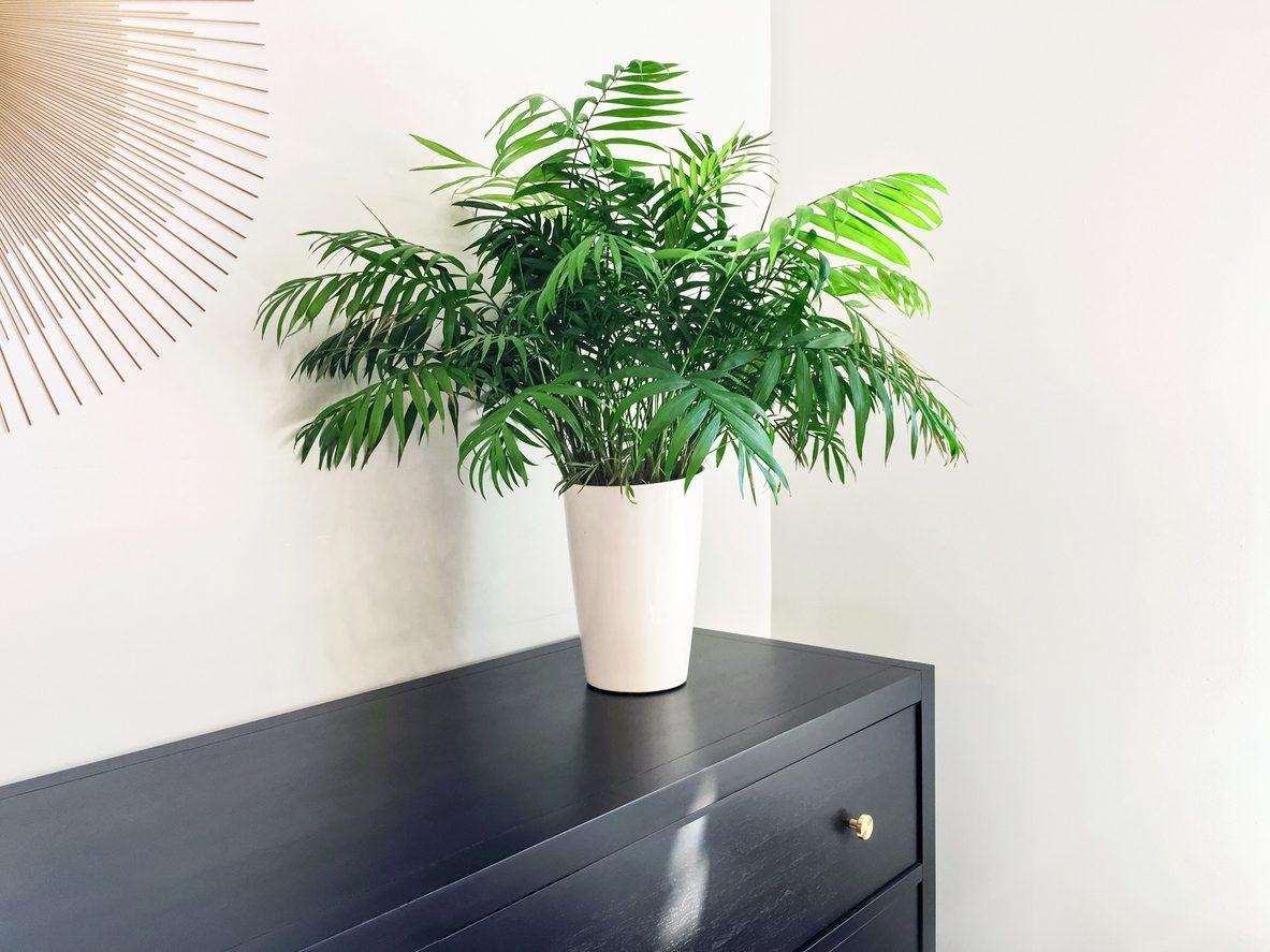 Salon palmiyesi nedir?