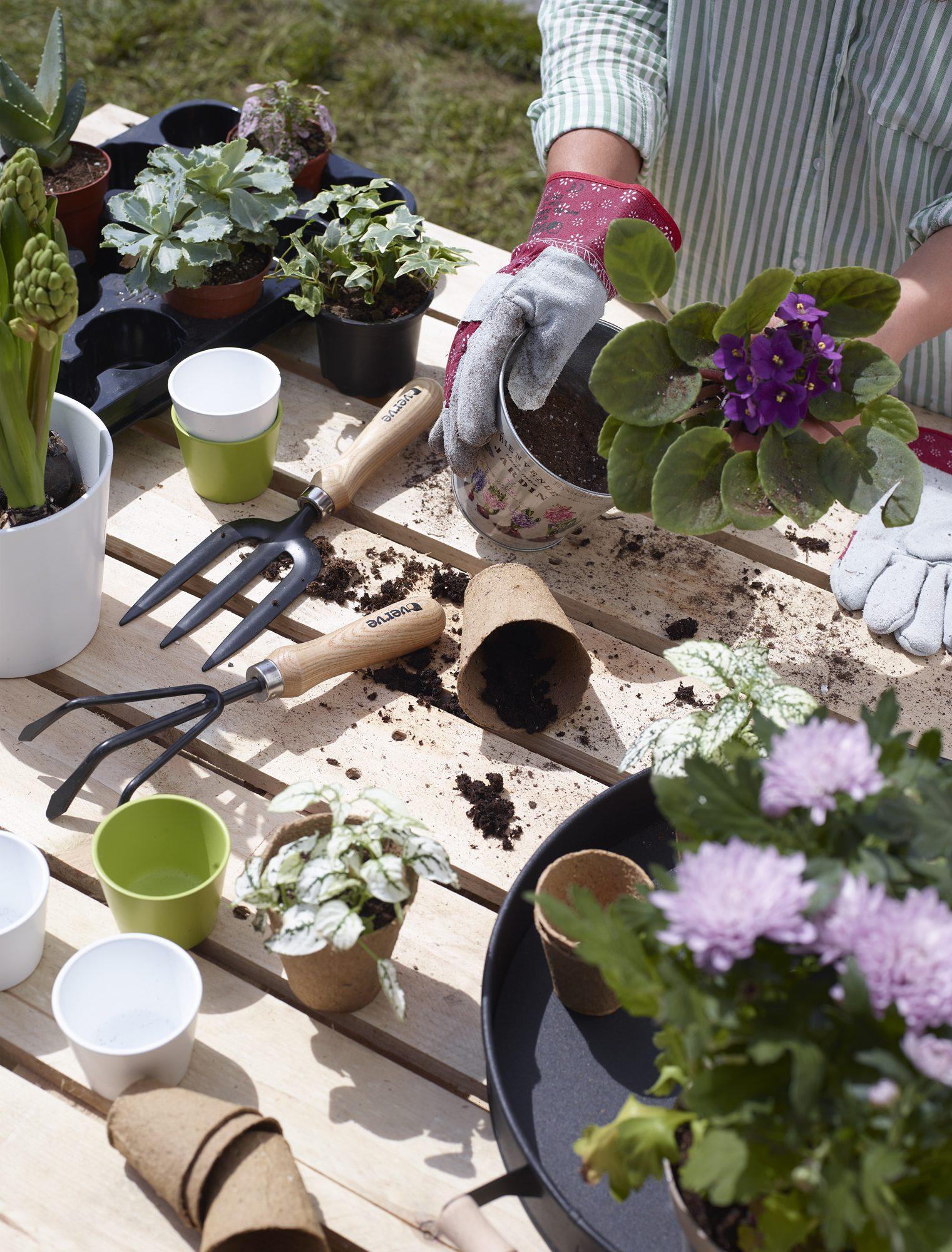 Vittroca Violet: tohumların dışına çıkma 50