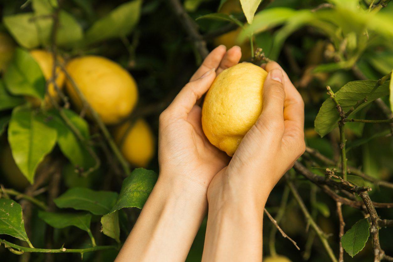 Limon çekirdeği nasıl çimlendirilir?