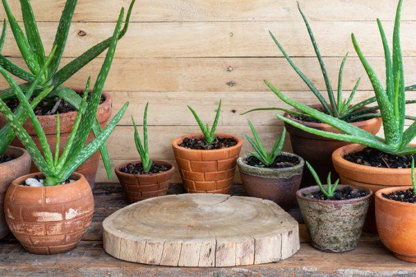 Aloe veranın yararları