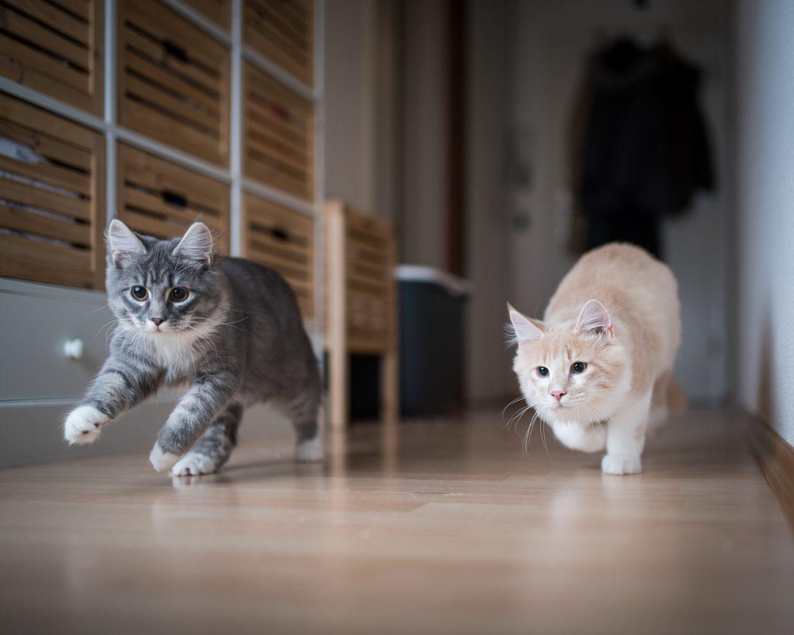 Yetişkin Kedi Yeni Eve Nasıl Alıştırılır