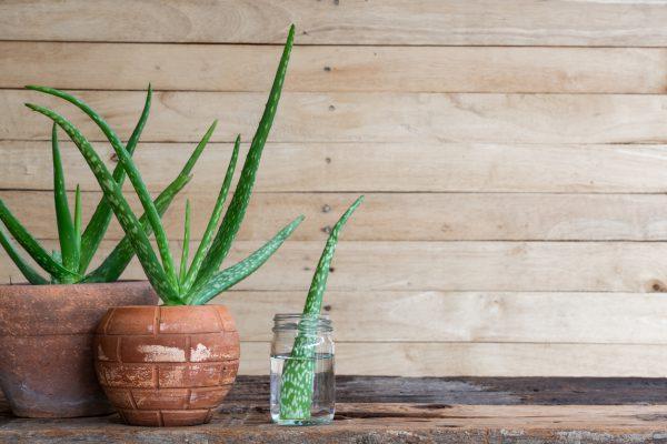 Aloe Vera Nasıl Çoğaltılır